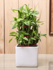 Bamboo Plant With White Cube Ceramic Planter - By