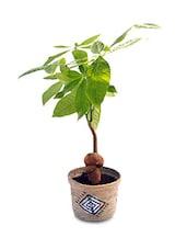 Brown Natural Plants & Jute Pots Planter - By