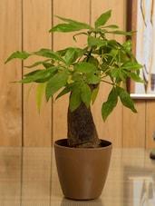 Money Tree Indoor Plant - By