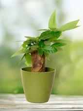 Straight Money Tree Indoor Plant - By - 945073